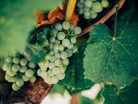 В Италии начался сезон сбора винограда